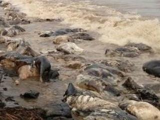 Praia é tomada por bois mortos após naufrágio no Pará
