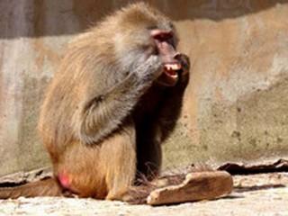 Fêmea de babuíno é flagrada usando 'fio dental' em zoo no Reino Unido