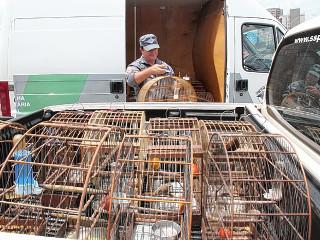 59 pássaros silvestres são apreendidos em Bauru, SP