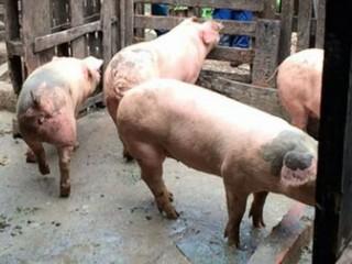 Santuário com porcos do Rodoanel recebe animais retirados de sítio