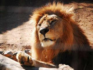 SP: Leão do zoológico de Sorocaba morre durante indução anestésica