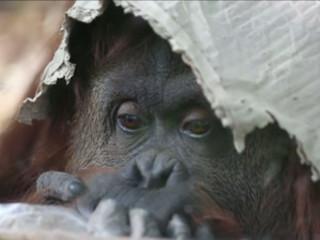 SP: ONG em Sorocaba aguarda decisão judicial para receber orangotango