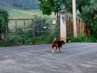 Dois anos após invasão, beagle vive abandonada perto do Instituto Royal