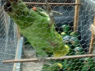 Mais de 30 filhotes de papagaios e araras são apreendidos em Gurupi, TO