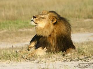 Zimbábue desiste de processar americano que matou leão Cecil