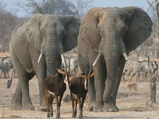 Zimbábue: Vinte e dois elefantes envenenados com cianeto