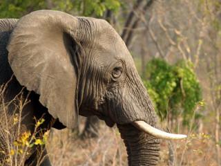 Guardas florestais estão matando elefantes como forma de protesto no Zimbábue