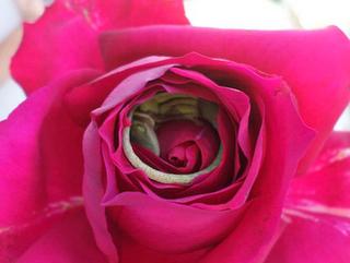 Foto de adorável lagarto dormindo confortavelmente dentro de uma rosa viraliza na web