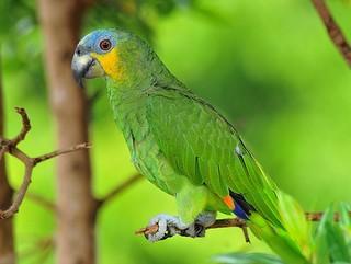 Papagaio-verdadeiro é um dos mais ameaçados pelo tráfico de aves