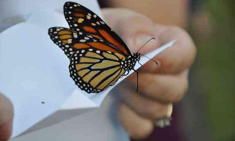 Futilidade e crime: noivas congelam borboletas para cerimônia de casamento