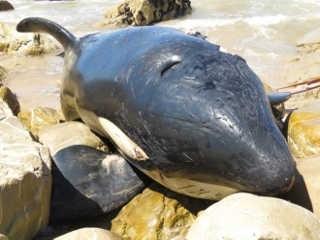 AfricaDoSul orca estomago lixo H