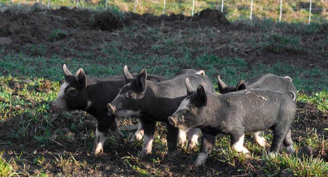 Alemanha fazendeiros ativistas veganos6
