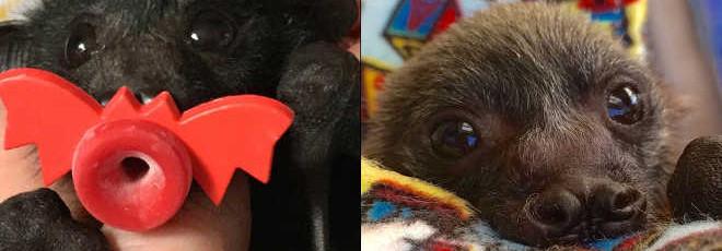 Mulher cria cobertores especiais para confortar bebês morcegos que ficaram órfãos