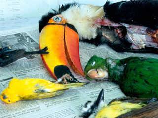 Brasil vergonha trafico animais H