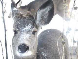 Animal Alliance condena abate de cervos urbanos no Canadá