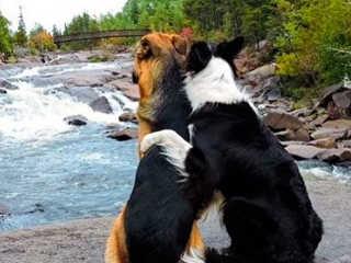 Canada caes melhores amigos H