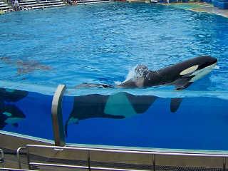 Canada orcas livres desenho H