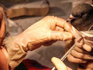 China MakarSankranti salve aves H