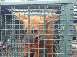 Lobo-guará é resgatado em depósito da Feira dos Importados, no DF