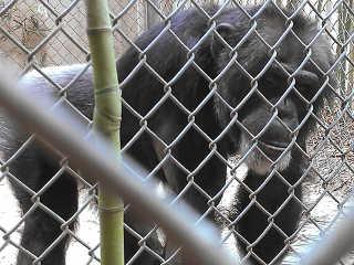 EUA Alabama aconteceu chimpanze H