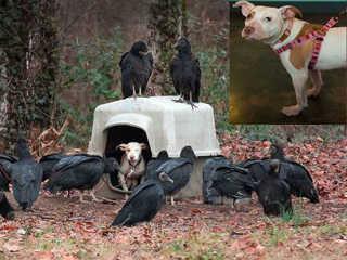 Pessoas finalmente resgataram cachorra acorrentada… após a chegada de abutres