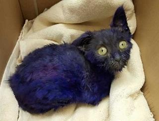 EUA california 3dez2015 gatinho apelidado de smurf foi pintado de roxo e usado como brinquedo para cachorros morderem 1451835475470 615x470 H