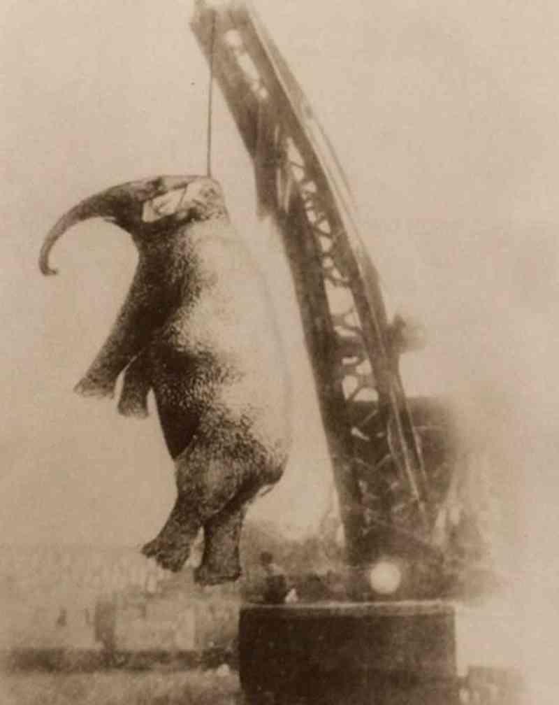 'Mary Assassina': A terrível história da elefante que foi morta enforcada por um guindaste