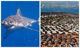 Qual dessas duas fotos de tubarão te assustaria mais?
