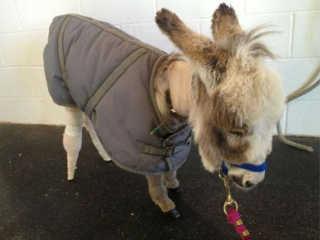 EUA mini burro protese H