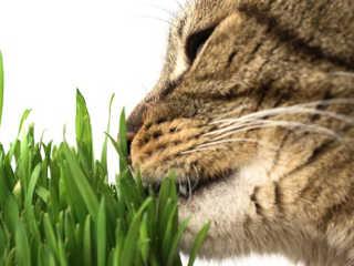 Gatos comer grama H