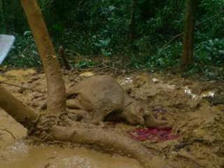 GuineEquatorial caca filhote elefante H