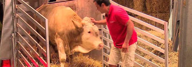Este touro viveu acorrentado a vida toda. Agora veja a sua reação diante do homem de vermelho