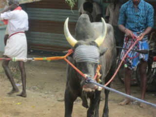 IN tamilnadu jallikattu peta india w