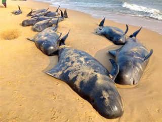 India baleias morrem encalharem H