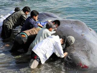 Japao salvar baleia encalhada H