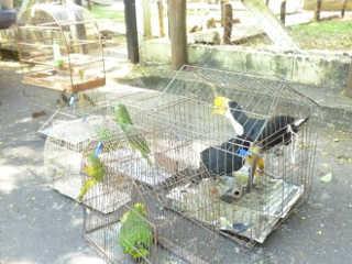 MS ibama aves extincao cativeiro H