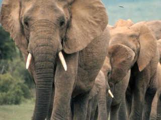 Moçambique e Tanzânia perderam metade dos elefantes