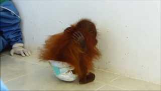 Orangotango em cativeiro abraça-se para sentir carinho que nunca teve; vídeo