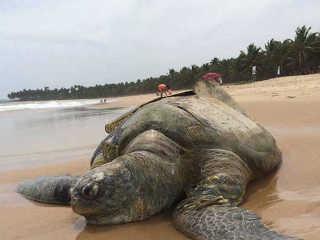 PE CaboDeSantoAgostinho tartaruga morta H