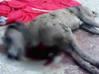 Gerência de Proteção Animal ajuda a encontrar homem que esfaqueou cão em Caruaru, PE