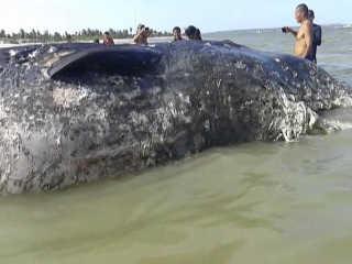 PE Goiana baleia morta praia H