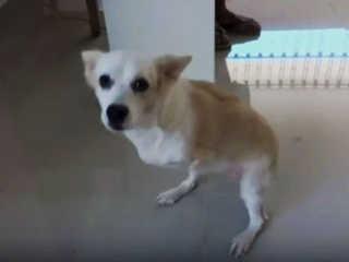 Peru cadela duas patas H