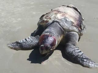 Tartarugas são encontradas mortas na beira da praia em Xangri-Lá, no RS