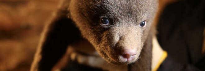 Bebês ursos órfãos na Rússia precisam de sua ajuda neste inverno