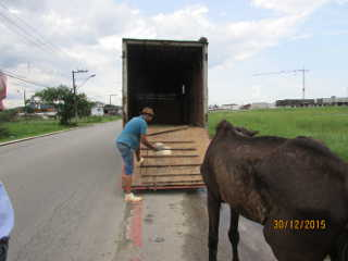SC Itajai maus-tratos cavalo H