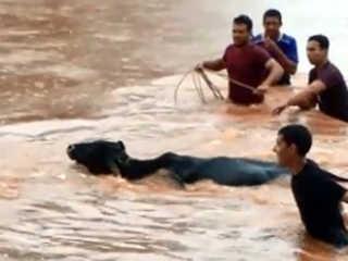 SP Maracai moradores resgatam boi H