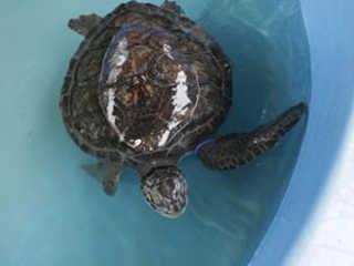 SP SaoVicente tartartugas mortas H