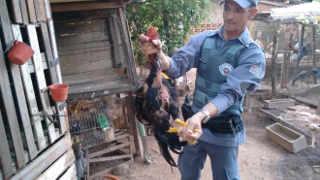 Policia Ambiental flagra rinha de galos em Parapuã (SP) e aplica multa de R$ 95 mil