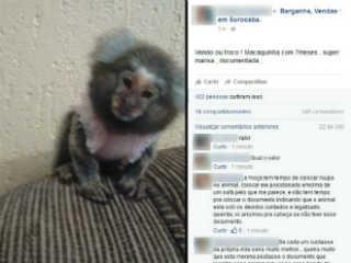 SP sorocaba macaca1 H
