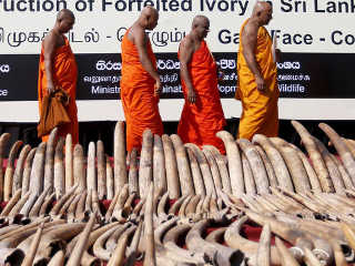Sri Lanka destrói 300 presas de elefante contra tráfico